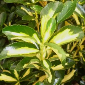 Euonymus Japonica Bravo blanc en pot de 30 L 100/125 cm 174519