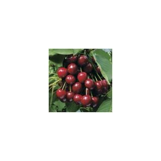 Cerisier Bigarreau Summit forme 1/2 tige 174704