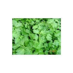 Persil Commun Dit Plat. La barquette de 6 plants 41474