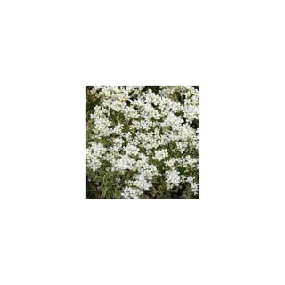 Arabette corbeille d'argent. La barquette de 6 plants 794364
