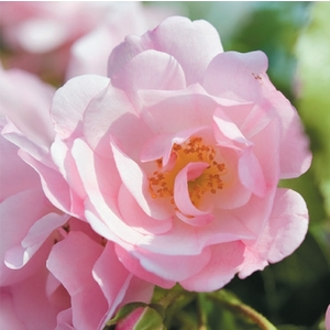 Rosier Mareva Rose tiges - Pot de 10L 176384