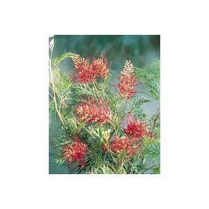 Grevillea Robin Gordon – Pot de 7L 176556