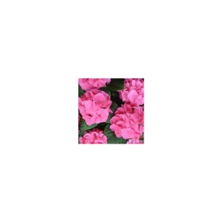 Hortensia Collection.D.17 364562