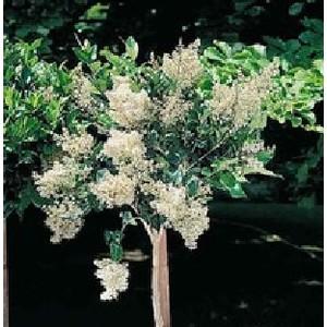 Ligustrum Japonicum ou Troène 80/100 cm en pot de 10 L 350646