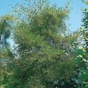 Alnus Glutinosa Imperialis ou Aulne Commun 120/150 cm en port de 7,5 L 844819