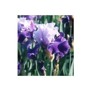 Iris Des Jardins. Le pot de 3 litres 102789