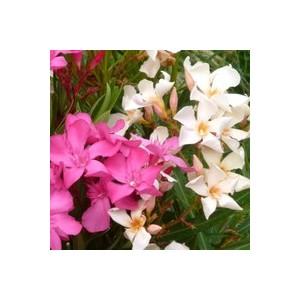 Laurier rose varié (Nerium Oleander). Le pot de 4 litres 177387