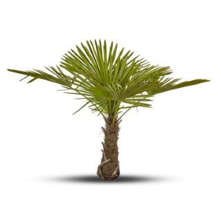 Trachycarpus Excelsa ou Palmier de Chine 40/50 cm en pot de 50 L 177814