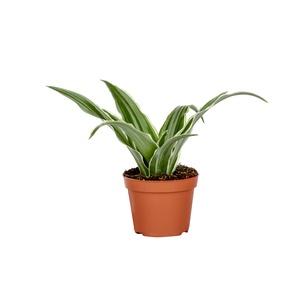 Dracaena Plante Baby en pot Ø 5/6 cm 177852