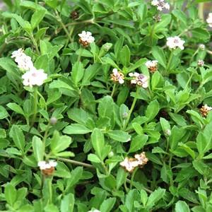 Lippia Nudiflora. La barquette de 6 plants 178066