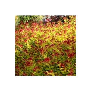 Spiraea Magic Carpet 925248