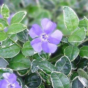 Petite pervenche bleue en pot de 2 L 179103