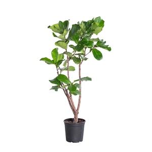 Ficus Lyrata H 140 cm en pot Ø 27 cm 179526