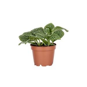 Fittonia en pot Ø 5/6 cm 180821