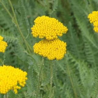 Achillée naine jaune. Le pot de 9x9 cm 183402