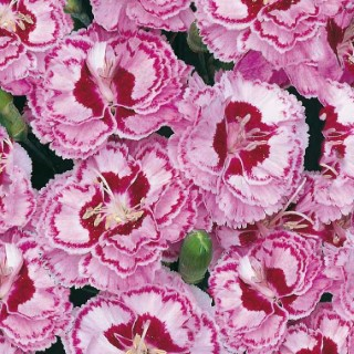 Oeillet Mignardise Rouge-Blanc. Le pot de 9x9 cm 183434