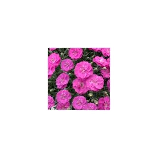 Oeillet nain rose violacé. Le pot de 9 cm 183448