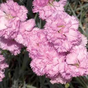 Oeillet Nain Rose Double. Le pot de 9x9 cm 183449