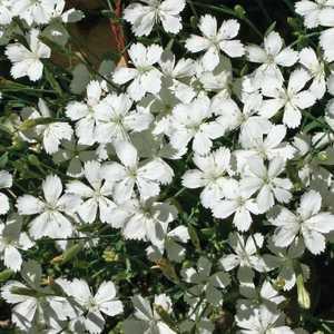 Oeillet A Delta Blanc. Le pot de 9x9 cm 183450