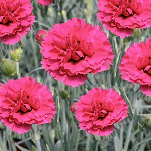 Oeillet Mignardise Rouge Rose. Le pot de 9x9 cm 183452