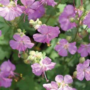 Geranium Cantabrigiense Rouge. Le pot de 9x9 cm 183471
