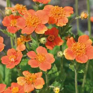 Benoite Coccineum Orange. Le pot de 9x9 cm 183474