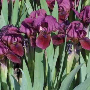 Iris Nain Rouge. Le pot de 9x9 cm 183489