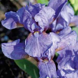 Iris Nain Bleu. Le pot de 9x9 cm 183491