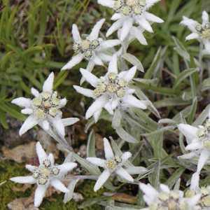Edelweiss. Le pot de 9x9 cm 183496