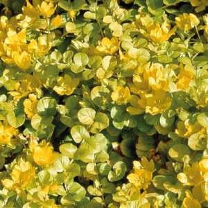 Herbe Aux Ecus  Aurea. Le pot de 9x9 cm 183500