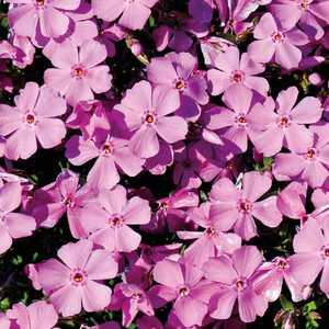 Phlox En Coussin Rose. Le pot de 9x9 cm 183506