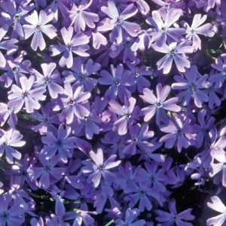 Phlox En Coussin Bleu. Le pot de 9x9 cm 183508
