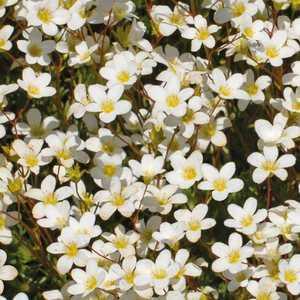 Saxifrage Mousse Blanc. Le pot de 9x9 cm 183517