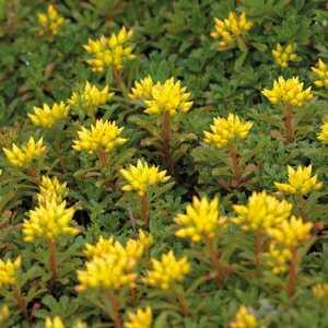 Sedum Floriferum Jaune. Le pot de 9x9 cm 183527