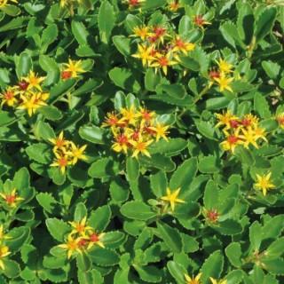 Sedum Kamtschaticum. Le pot de 9x9 cm 183528