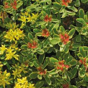 Sedum Kamtschaticum Variegatum Jaune. Le pot de 9x9 cm 183529