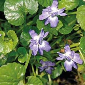 Violette Odorante Bleue. Le pot de 9x9 cm 183545