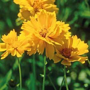 Coreopsis Haut Fleur Double. Le pot de 9x9 cm 183562