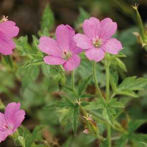 Geranium Oxonianum Rose. Le pot de 9x9 cm 183576