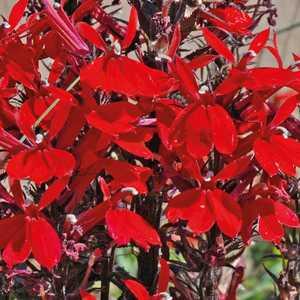 Lobelia Cardinalis. Le pot de 9x9 cm 183589