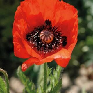 Pavot D'Orient Rouge. Le pot de 9x9 cm 183597
