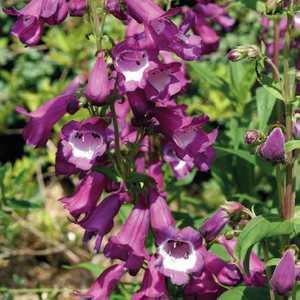 Penstemon  Violet Gorge Blanche. Le pot de 9x9 cm 183601
