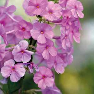 Phlox Maculata Rose. Le pot de 9x9 cm 183602