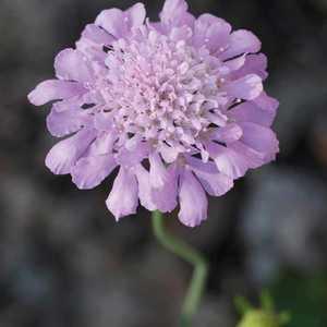 Scabieuse Columbaria Bleue. Le pot de 9x9 cm 183608