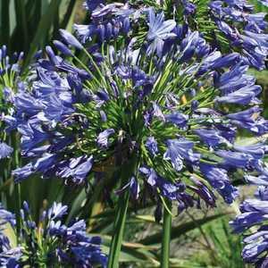 Agapanthe  Bleue. Le pot de 9x9 cm 183612