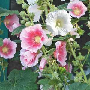 Rose Trémière Simple Varie. Le pot de 9x9 cm 183613