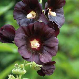 Rose Trémière  Noire. Le pot de 9x9 cm 183615