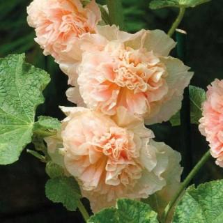 Rose Trémière  Saumon. Le pot de 9x9 cm 183616