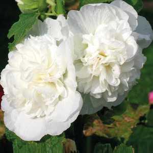 Rose tr mi re blanche pot de 9 cm x 9 cm botanic - Rose tremiere en pot ...