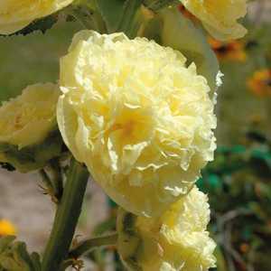 Rose Trémière  Jaune. Le pot de 9x9 cm 183619